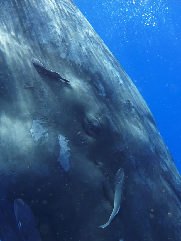 close-up underwater photo of a whale, eye and remoras evident - it is looking at the camera