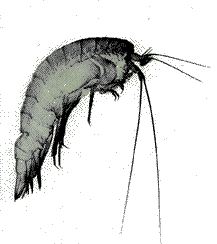 drawing of a zooplankton