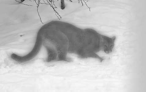 blurred black and white photo of a cougar on snow