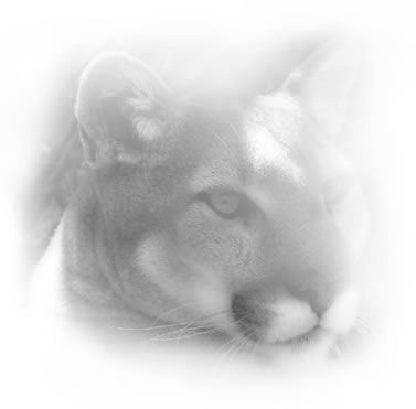 misty photo of a mountain lion's face