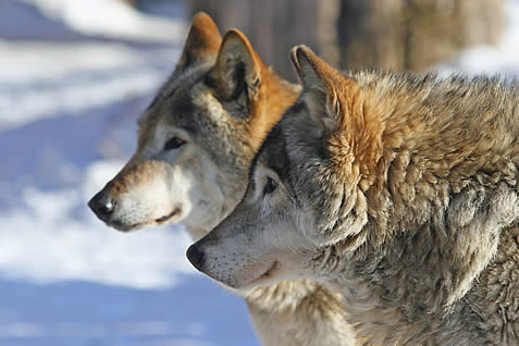 photo of the faces of two wolves in a snowy landscape