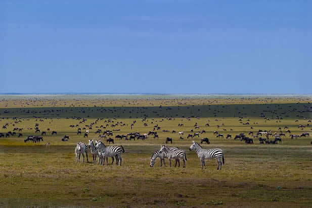 photo of a wide savannah, zebras, antelope, and wildebeests browsing there