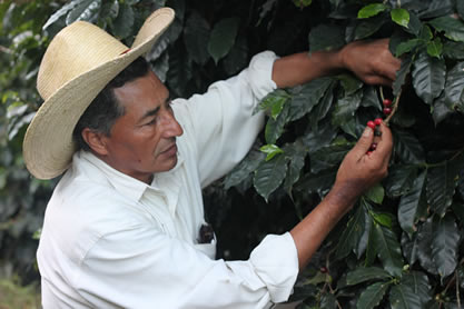 photo of a man picking coffee cherries