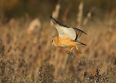 photo of a barn owl in flight, rodent prey in its talons
