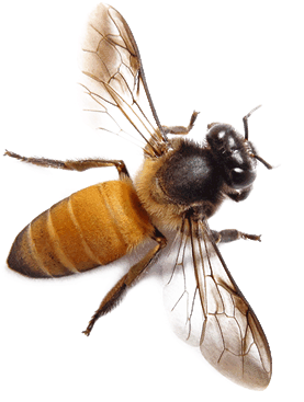 closeup photo of a honeybee