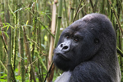photo of a Mountain Gorilla