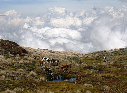 image of cattle grazing on a hillside in the clouds