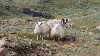 image of livestock on arctic tundra