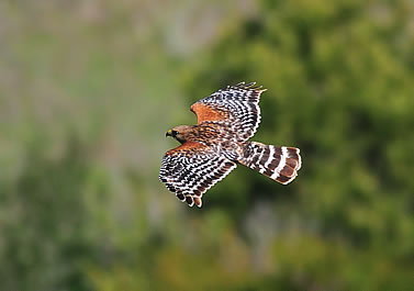 photo of a red-shouldered hawk in flight