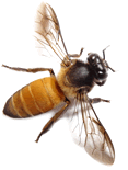 photo of a honeybee