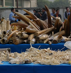 photo of a tangle of elephant tusks on a table