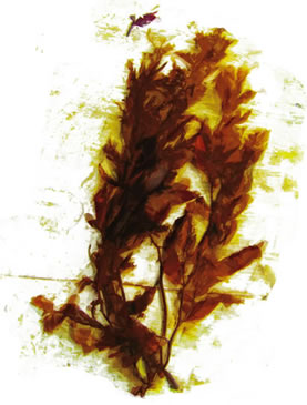 artwork depicting a seaweed frond