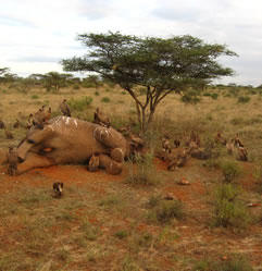 photo of a dead elephant, vultures attending