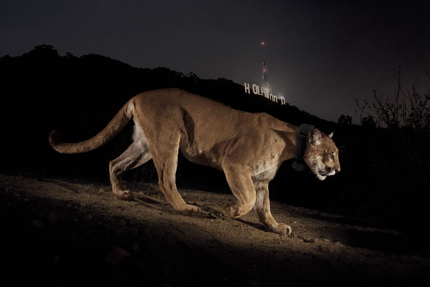 photo of a lion standing on a hillside, the 'Hollywood' sign evident behind