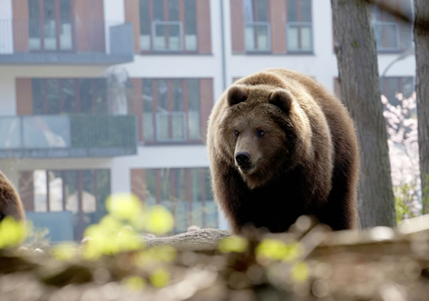 photo of a bear, an apartment building visible behind