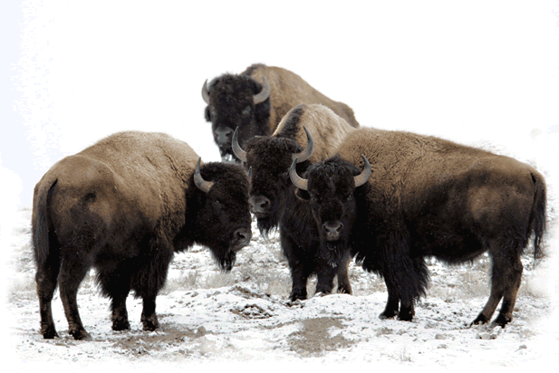 photo of bison