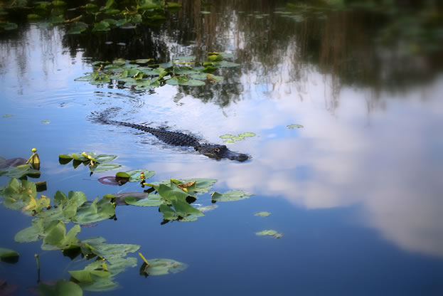 photo of an aligator in a pond