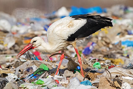 photo of a stork picking at garbage in a landfill