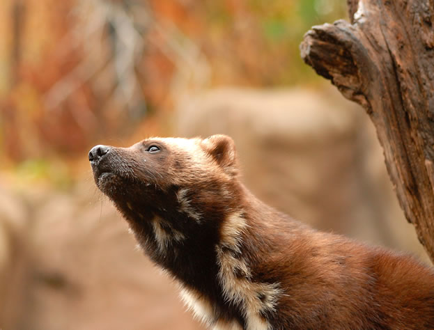 photo of a wolverine, close in profile