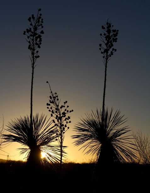photo of a yucca, backlit by a rising or setting sun