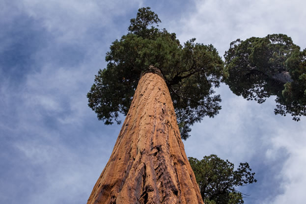 photo of a Giant Sequoia
