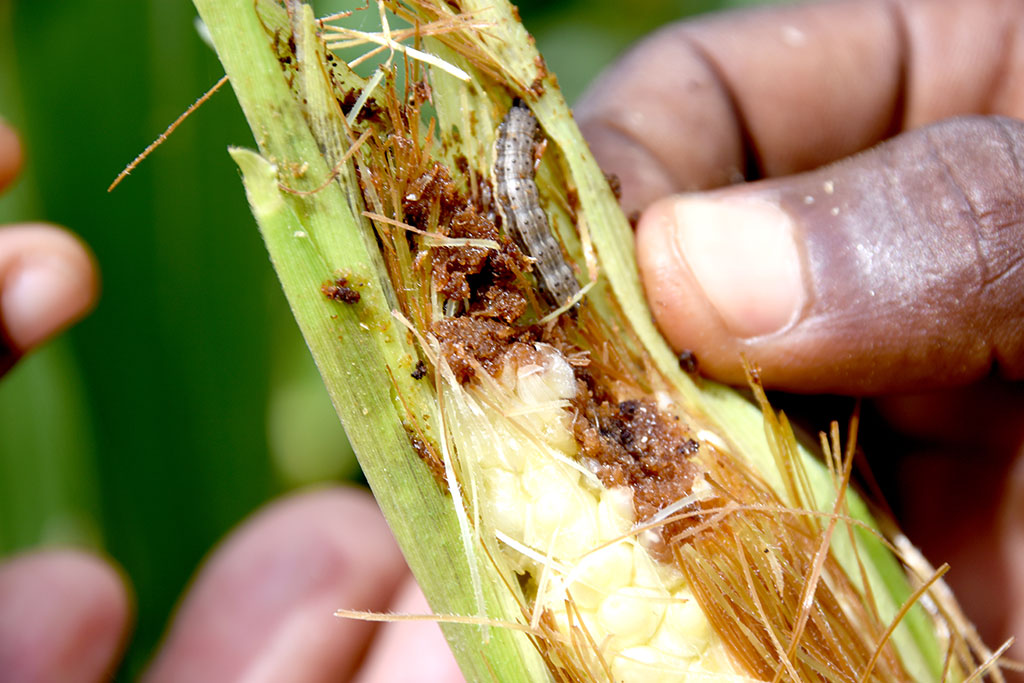 photo of a damaged ear of maize, worm inside
