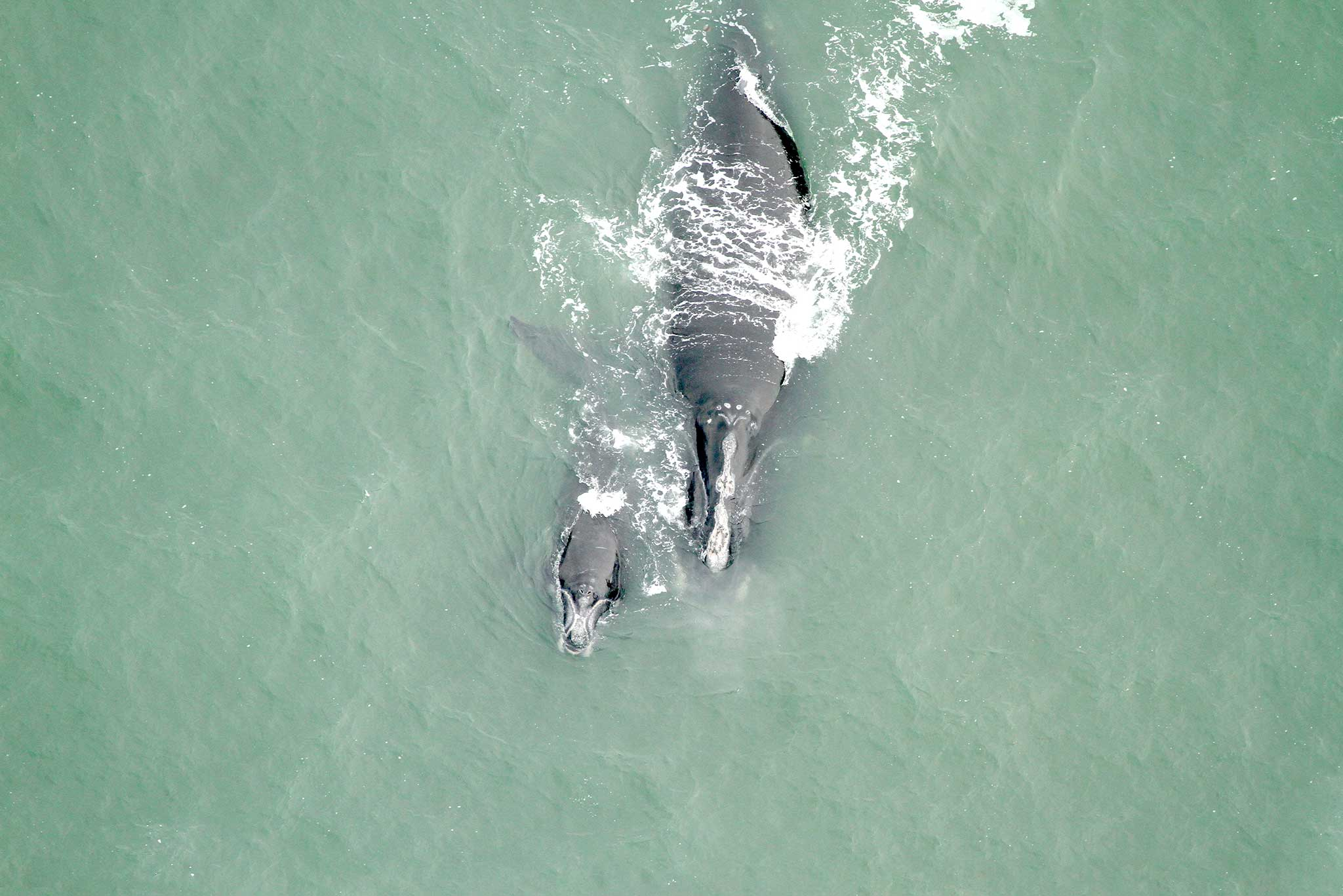 aerial photo of an adult right whale and calf
