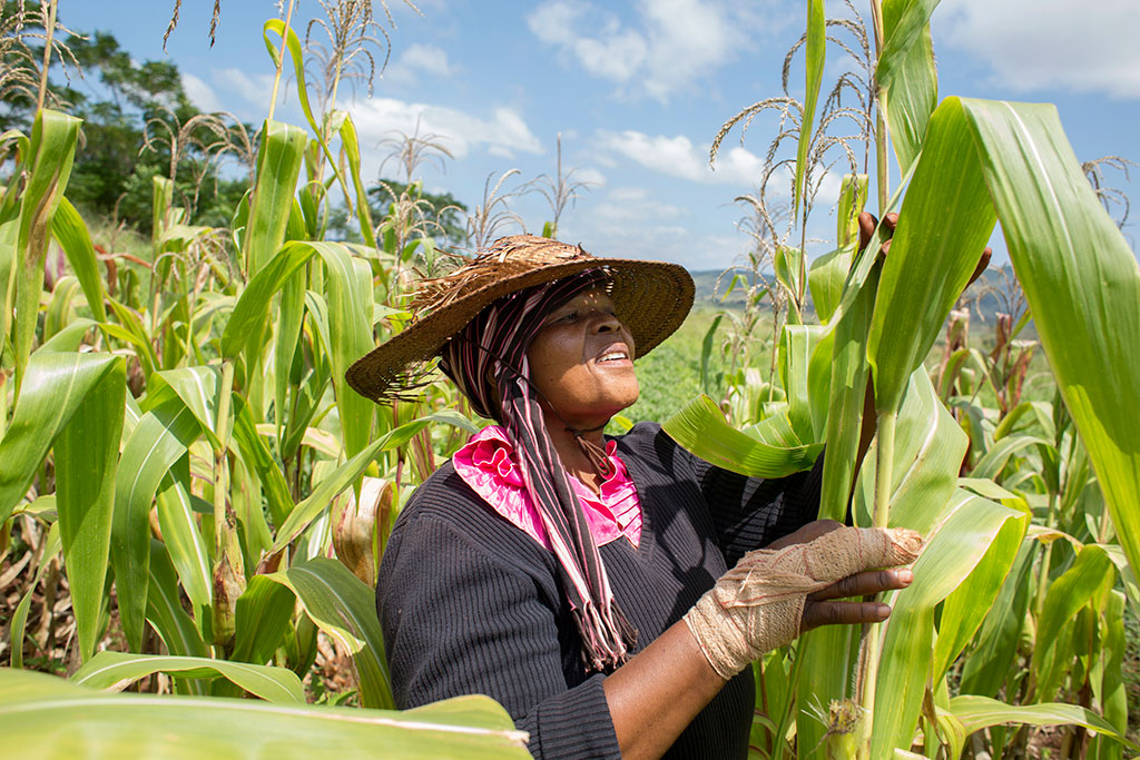 photo of a woman examining maize plants outdoors