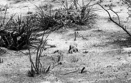 A black-tailed jackrabbit looks for food in the burned Mojave landscape. Photo Chris Clarke