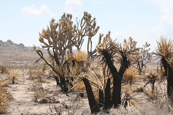 Burned Joshua Trees. Photo Chris Clarke