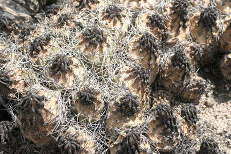This Mojave mound cactus will not survive the injury from the fire. Photo Chris Clarke