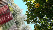photo of a tree full of fruit overhanging an urban fence