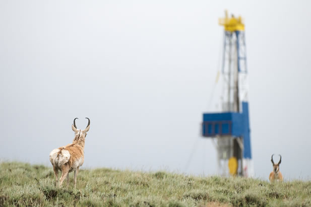 photo of pronghorn milling in a misty prairie, drilling rig in the background