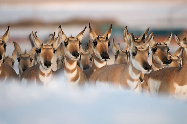 photo of a herd of pronghorn with their faces close up
