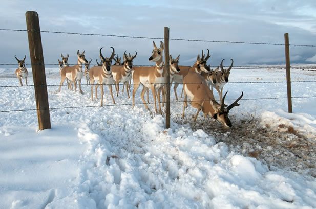 photo of pronghorn queued up single-file to crawl under a barbed wire fence in a snow-covered field