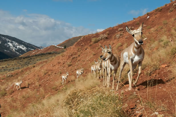 photo of pronghorn walking on the side of a hill in a line