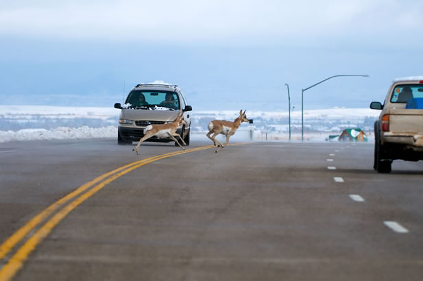 photo of pronghorn crossing a road in front of traffic