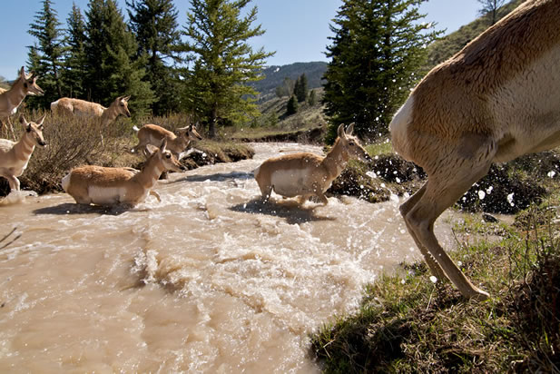 photo of pronghorn crossing a mountain stream