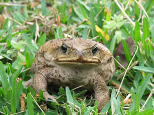 close up photo of a cane toad in grass