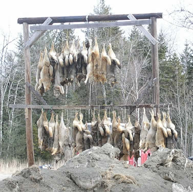 photo of dozens of coyote carcasses hanging from racks outdoors