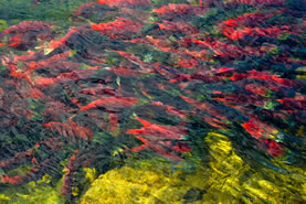 photo of salmon smolts in a crowd