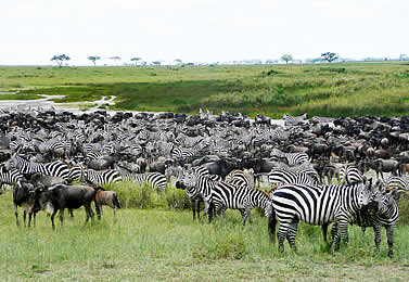 photo of zebras and wildebeest in the open