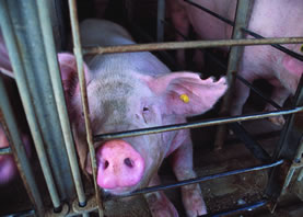 photo of a pig pushing her snout through the bars of a cage