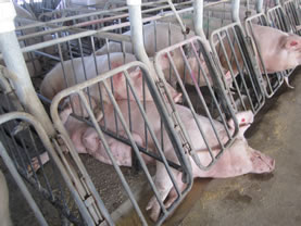photo of large pigs in a fenced enclosure