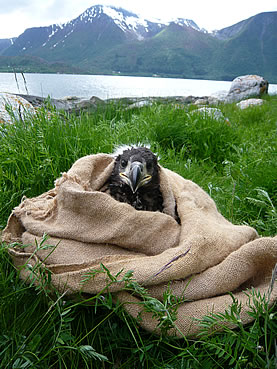 photo of an eagle chick poking its head out of a burlap sack, on the shore of a lake near snowy mountains, it is glaring at the camera