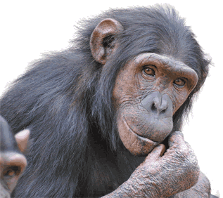 photo of a chimpanzee looking thoughtful