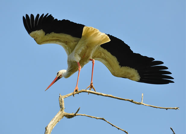 photo of a stork