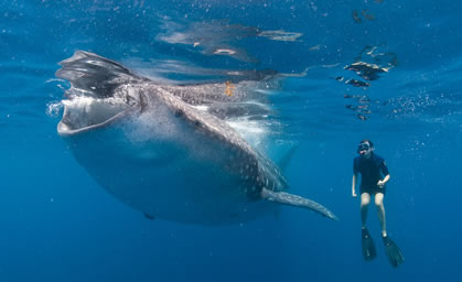 underwater photo of a snorkeler with a whale shark