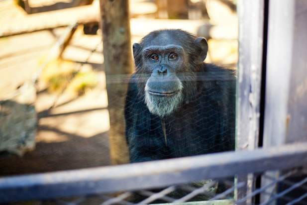 photo of a chimpanzee behind a glass barier