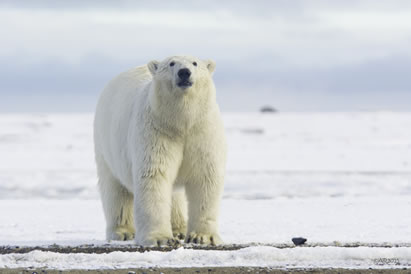 photo of a polar bear on ice